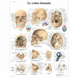 Le crâne Humain